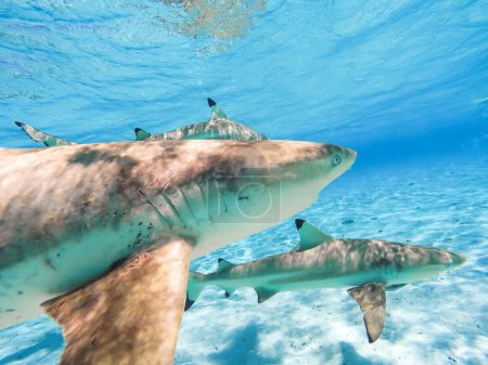 Sharks and Arraias on Bora
