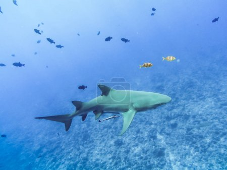 Sharks swimming in Bora Bora