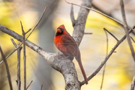 Photo pour Cardinal du Nord (Cardinalis cardinalis) repéré à l'extérieur à New York - image libre de droit