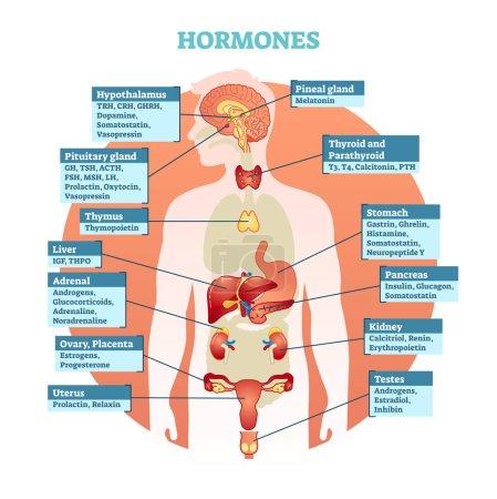 Human body hormones vector illustration diagram