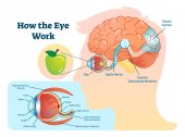 How eye work medical illustration eye - brain diagram