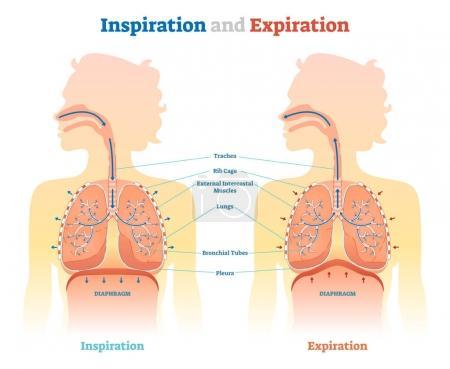 Illustration pour Schéma d'illustration vectoriel anatomique d'inspiration et d'expiration, schéma médical éducatif avec poumons, diaphragme, cage thoracique et trachée . - image libre de droit