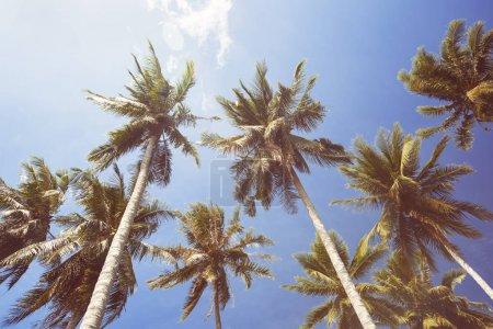 Palmiers de noix de coco sur ciel bleu