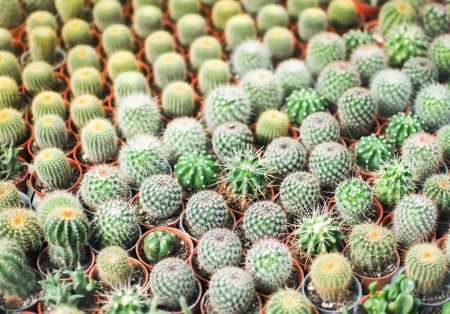 Selective focus of small cactus in a row