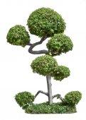 Bonsai trees on white background