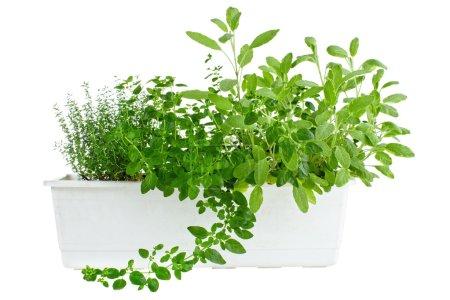 Photo pour Herbes fraîches en pot, thym, origan et sauge, isolées sur blanc - image libre de droit