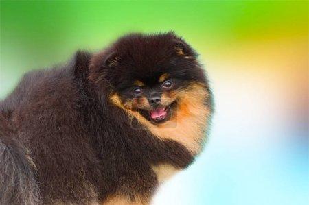 Dark Pomeranian spitz
