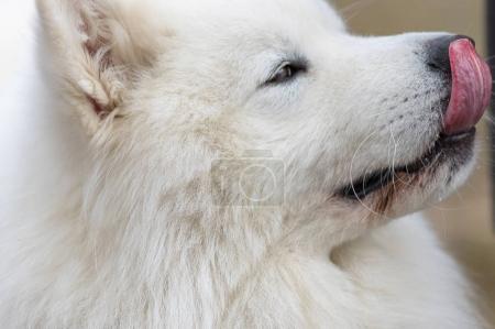 Samoyed dog close-up