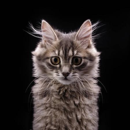 gray fluffy kitten in front on black background