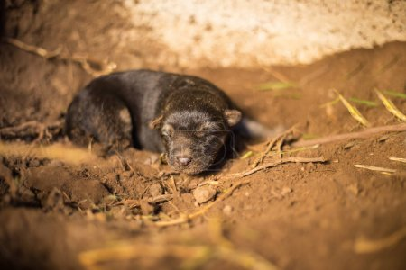 Newborn german shepherd in a wild cave hole.