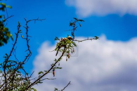 Southern white-crowned shrike sitting on a tree branch in Kruger National Park in South Africa