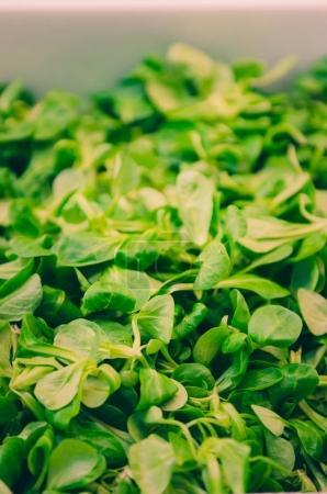 fresh green bunch of basil
