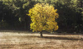 Big lonely tree with yellow leaves on field at sunrise