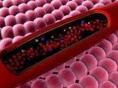 Leucociti allinterno del vaso sanguigno