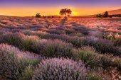 Lavender purple fields