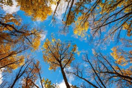 Photo pour Ciel bleu, vue de dessus arbres du bas vers le haut, automne - image libre de droit