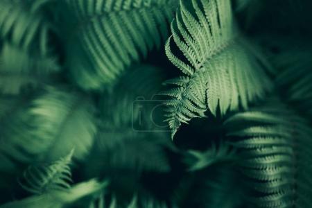 Photo pour Modèle de fougère naturel parfait. Beau fond faite avec jeunes fougères vertes feuilles. Couleur de chou frisé. - image libre de droit