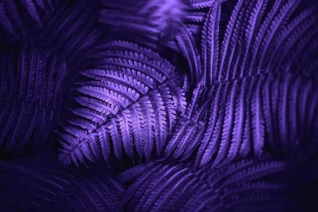 Photo for Beautiful fern leaves  foliage natural floral fern background. Ultra Violet creative and moody color of the picture. - Royalty Free Image