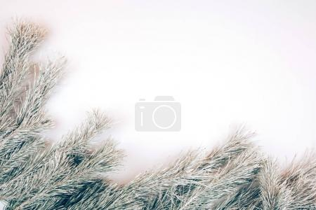 Snowy fir branches on white background.