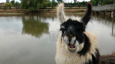 Foto de Lama en la granja mirando a la cámara. Sin filtrar, con iluminación natural . - Imagen libre de derechos
