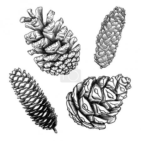 Set of hand drawing pine cones