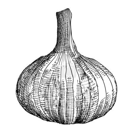 Hand drawing head of garlic