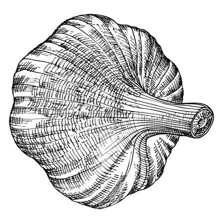 Head of garlic sketch