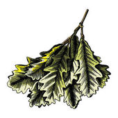 Watercolor painted and hand drawn inked rustic oak leaf oak leaves branch isolated on white Oak leaves highly detailed ink drawings Vector
