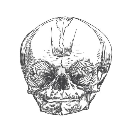 Anatomic skull sketch of youth or kid