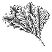 Hand drawn ink rustic oak leaf oak leaves branch isolated on white Oak leaves highly detailed ink drawings Vector