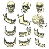 Set of anatomic skull sketches
