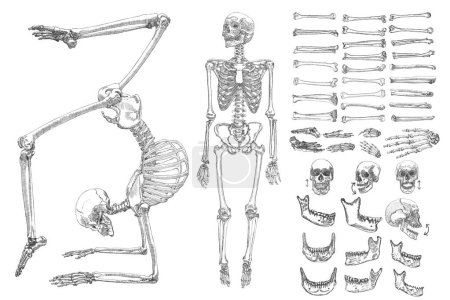 Human bones skeleton collection set