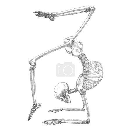 Human bones skeleton drawing