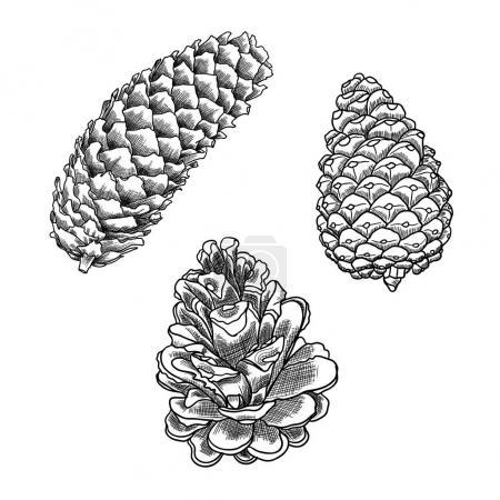 Pine cone sketches set