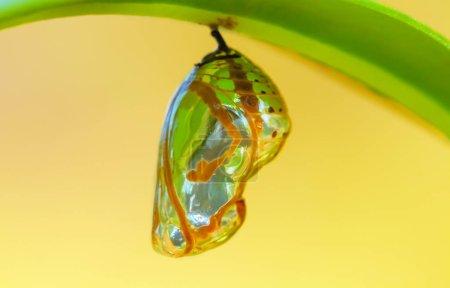 Chrysalis Butterfly on  leaf .
