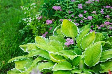 Photo pour Hosta planté dans le jardin d'été avec d'autres vivaces - image libre de droit