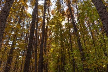 Photo pour Paysage forestier et arrière-plan - tronc d'arbre haut, vue du bas des arbres avec feuillage d'automne - image libre de droit