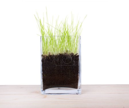 Glass vase with a young fresh green grass