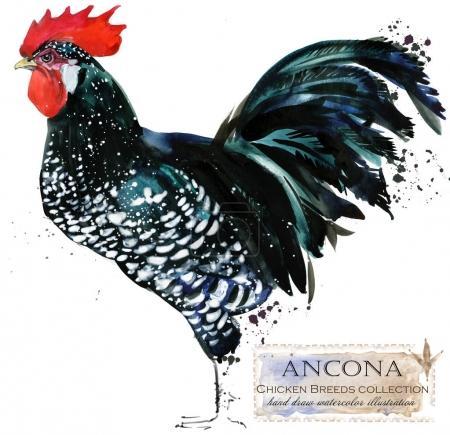 Poultry farming. Chicken breeds series. domestic farm bird watercolor illustration.