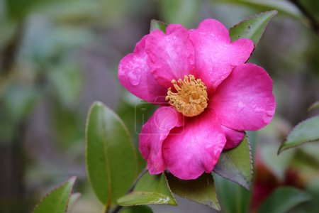 Pink flower Camalia