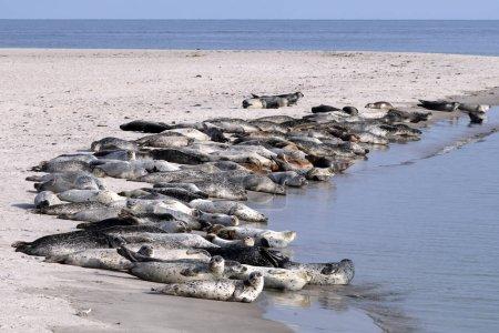 Photo pour Photo gros plan de sauvage Earless seals dans la nature - image libre de droit