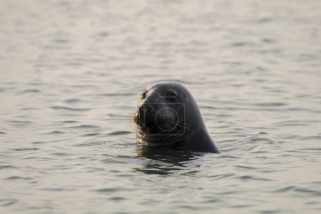 wild Grey Seal in nature