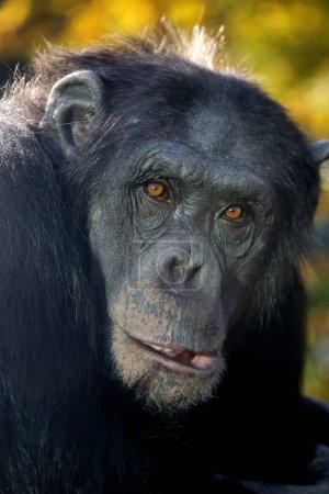 Close up photo of wild Chimpanzee in nature...