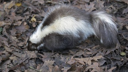 wild Skunk in nature