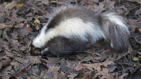 Wild Skunk in nature
