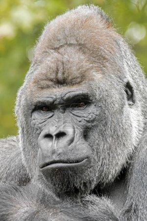 Photo pour Gorille dos argenté mâle, gros plan - image libre de droit