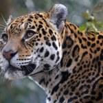 Big male Jaguar, close up...