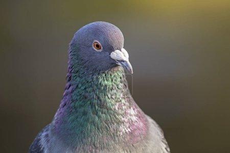 Photo pour Photo de Pigeon sauvage dans la nature sur fond flou - image libre de droit