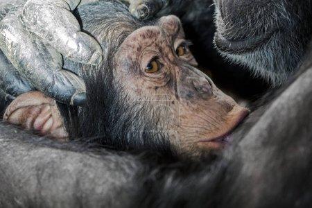 Photo pour Gros plan du bébé chimpanzé sur les pattes des parents - image libre de droit