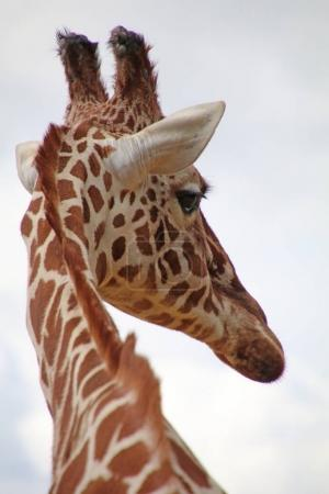Adult Giraffe animal